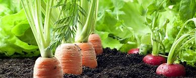 plantação de hortaliça cenoura com fertiliza 100 % orgânico