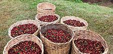 Café colhido em cestos, plantação de café