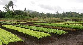 plantação de milho com fertiliza 100 % orgânico