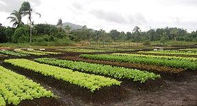 plantação de alface com fertiliza 100 % orgânico