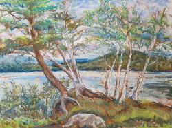 Sagamore Birch Trees