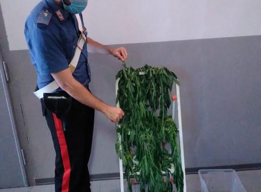 Beccato l'ortolano della droga: chiuso fuori casa, i carabinieri scoprono 25 piante di marija
