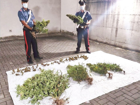 Garlasco: coltivava marijuana nell'orto della nonna, denunciato un 44enne