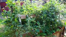 Das Gemüse-Hochbeet explodiert!