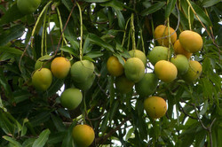 Mango Pommes