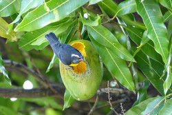 Le sucrier dégustant une mangue