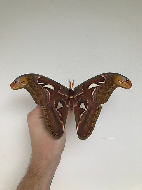 umounted papered dried Attacus atlas specimen A+