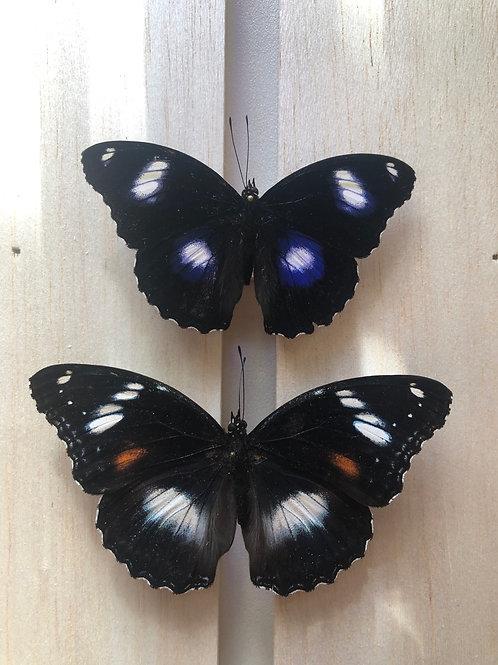 Unmounted Hypolimnas Bolina (Male and female set) specimens