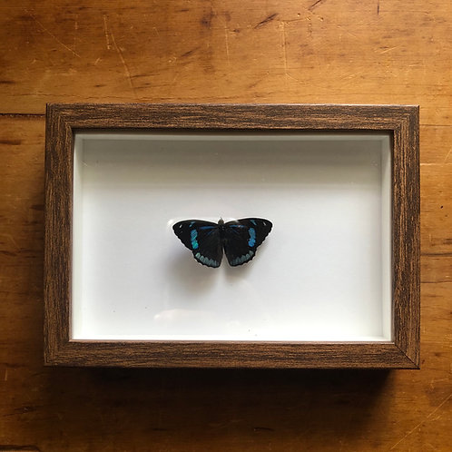 Shadow box entomology display