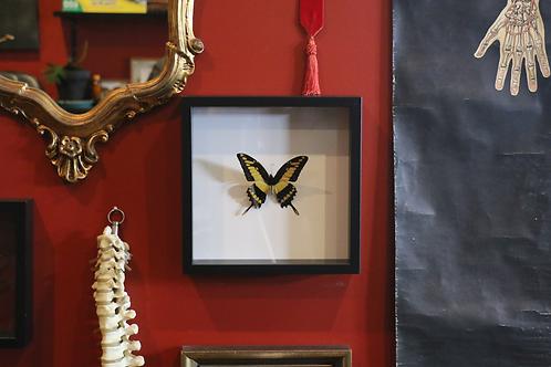 Framed Papilio Thoas