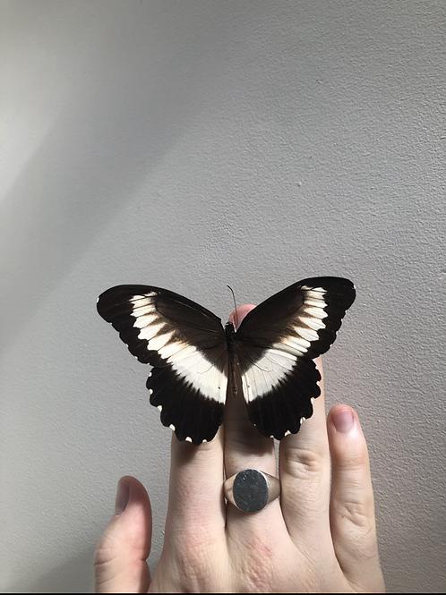 Unmounted Papilio Mechowianus specimen