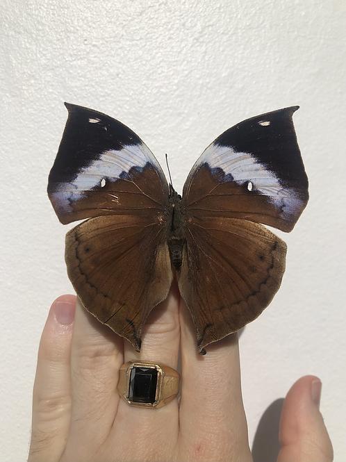 Kallima Paralekta Paralekta (Indian Leafwing)