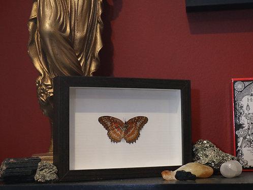 Framed Cethosia Biblis Perakana