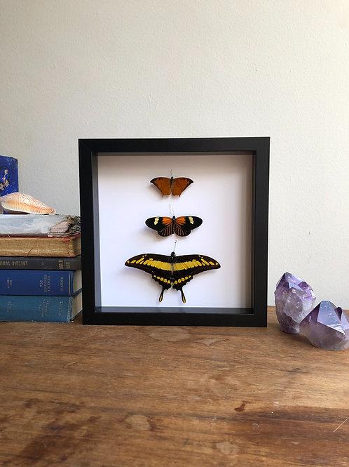 Shadow box entomology display