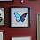 Thumbnail: Framed Morpho Didius