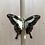 Thumbnail: Papilio Phorcas (Apple-green Swallowtail)