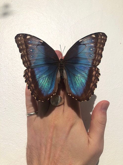 Unmounted papered dried Morpho Achilles specimen A+