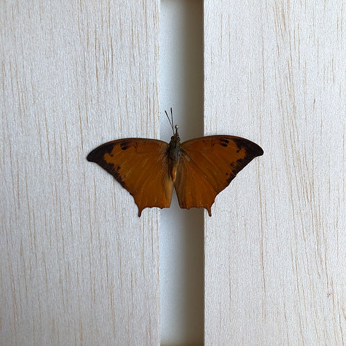 Unmounted papered dried Charaxes Paphianus specimen A+