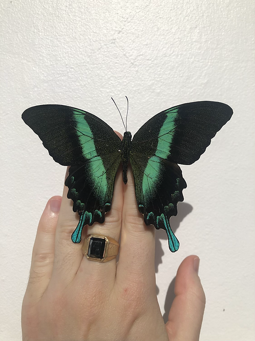 Papilio Blumei (Green Swallowtail)