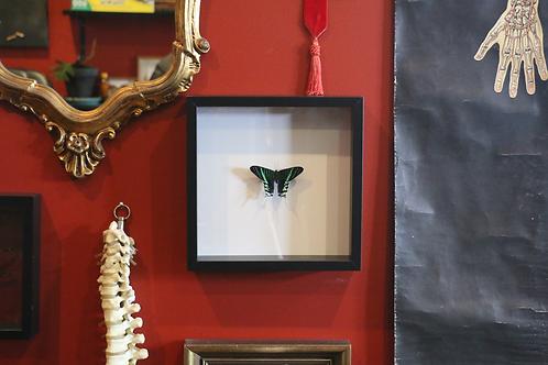 Framed Urania leilus