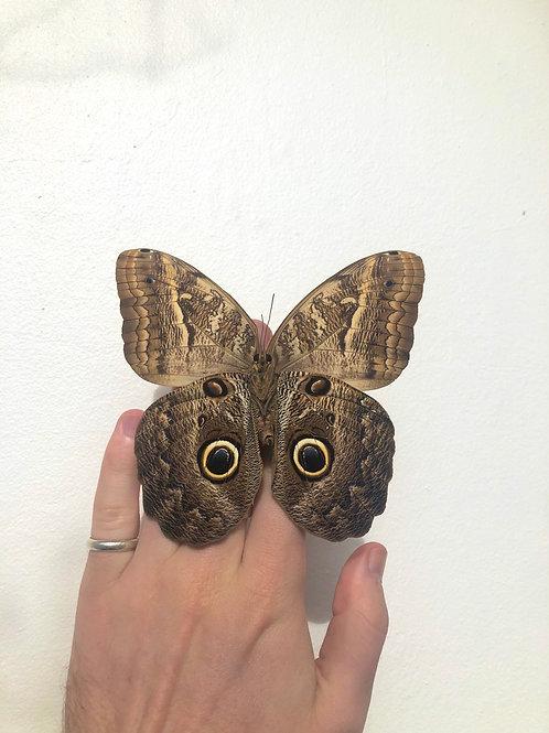 Unmounted papered Caligo Placidianus (Owl Butterfly)  specimen A+