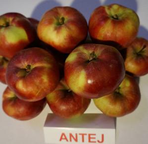 """Obuoliai """"Antej"""""""