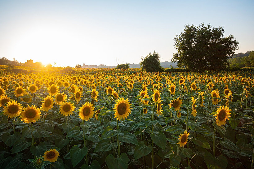 sunflowers-6007847_1920.jpg