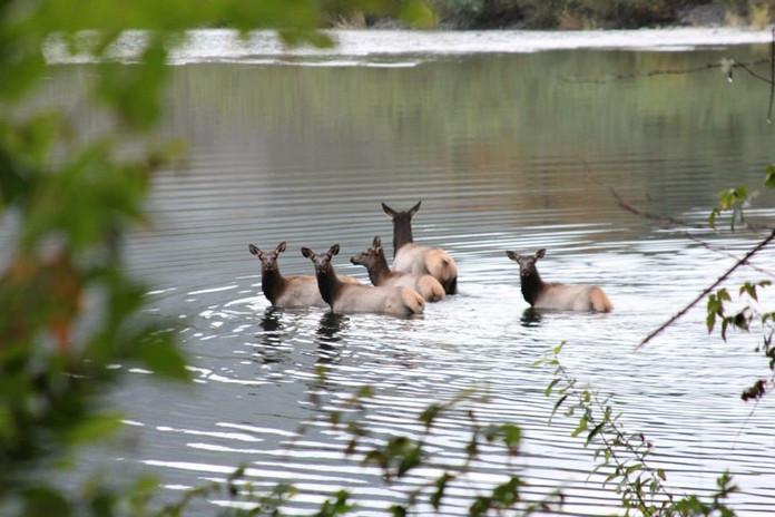 Elk in the Quinault River