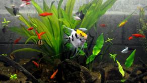 Best Alternatives to Wild Freshwater Aquarium Fish