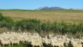 trees sheep and kakanui range.JPG