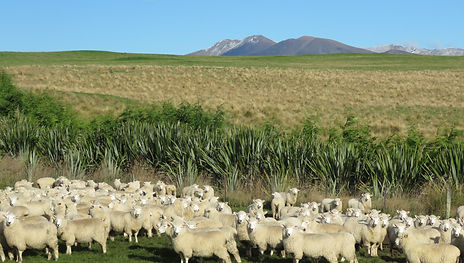 trees sheep and kakanui range.JPG