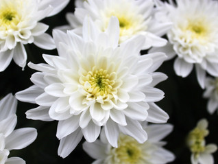 Chrysanthemum grower Drint Chrysanth