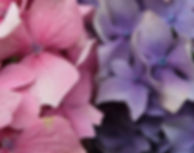 Wholesale hydrangeas