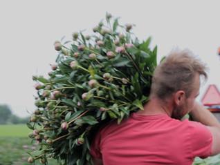 Peony grower - Kwekerij E.J.P. Witteman