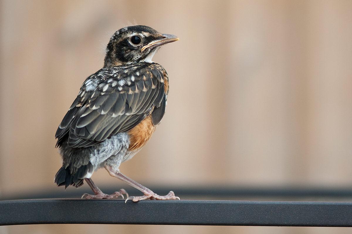 2012-07-23---Baby-Robin