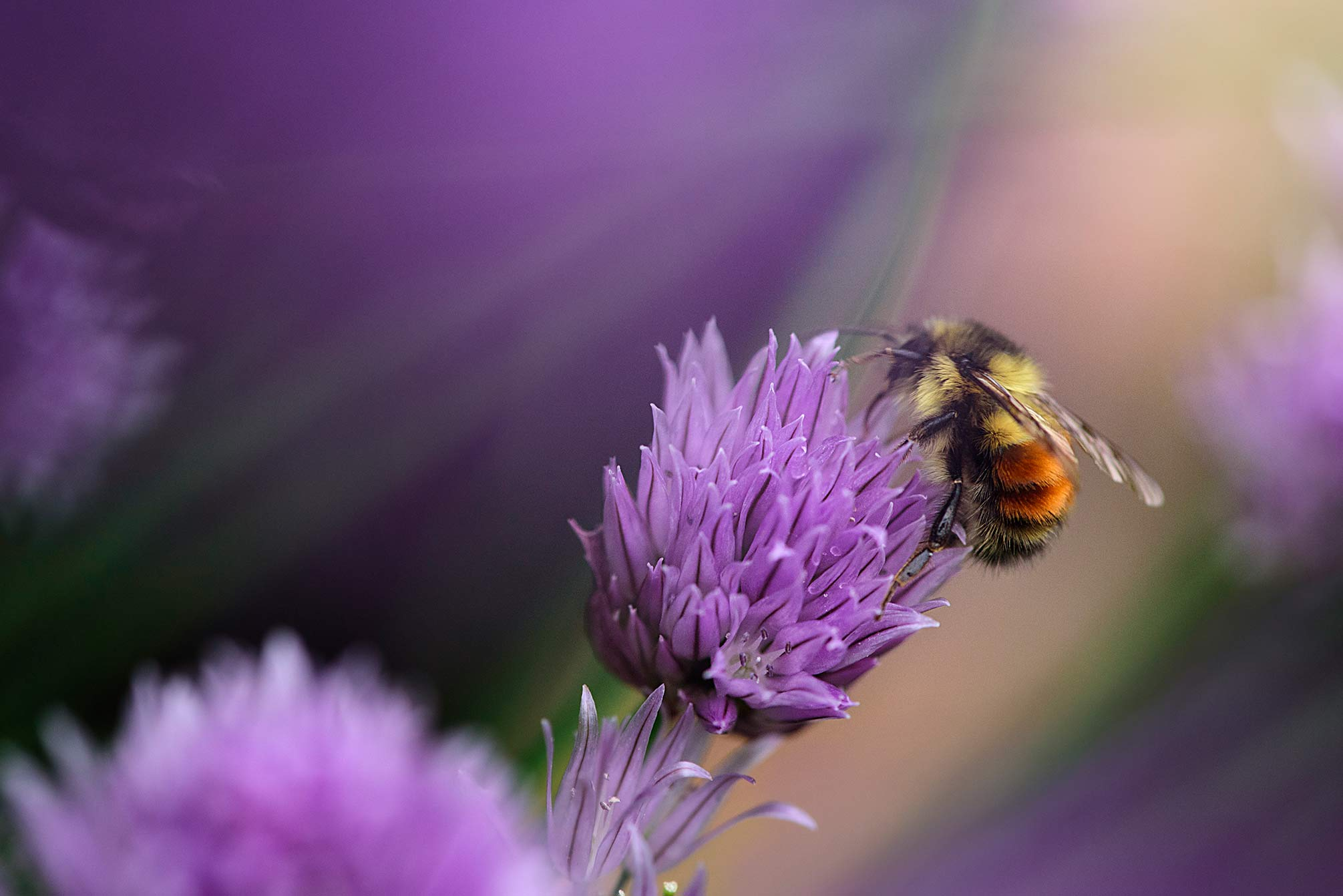 2015-05-20---Bee-in-chives