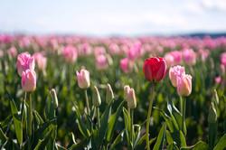 2014----Skagit-Valley-Tulips-44