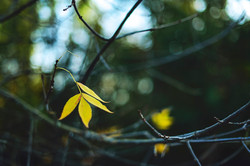 2015-10-03 - The Last Yellow Leaves