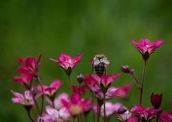 2015-05-17 - Bee in Pink Flowers 1