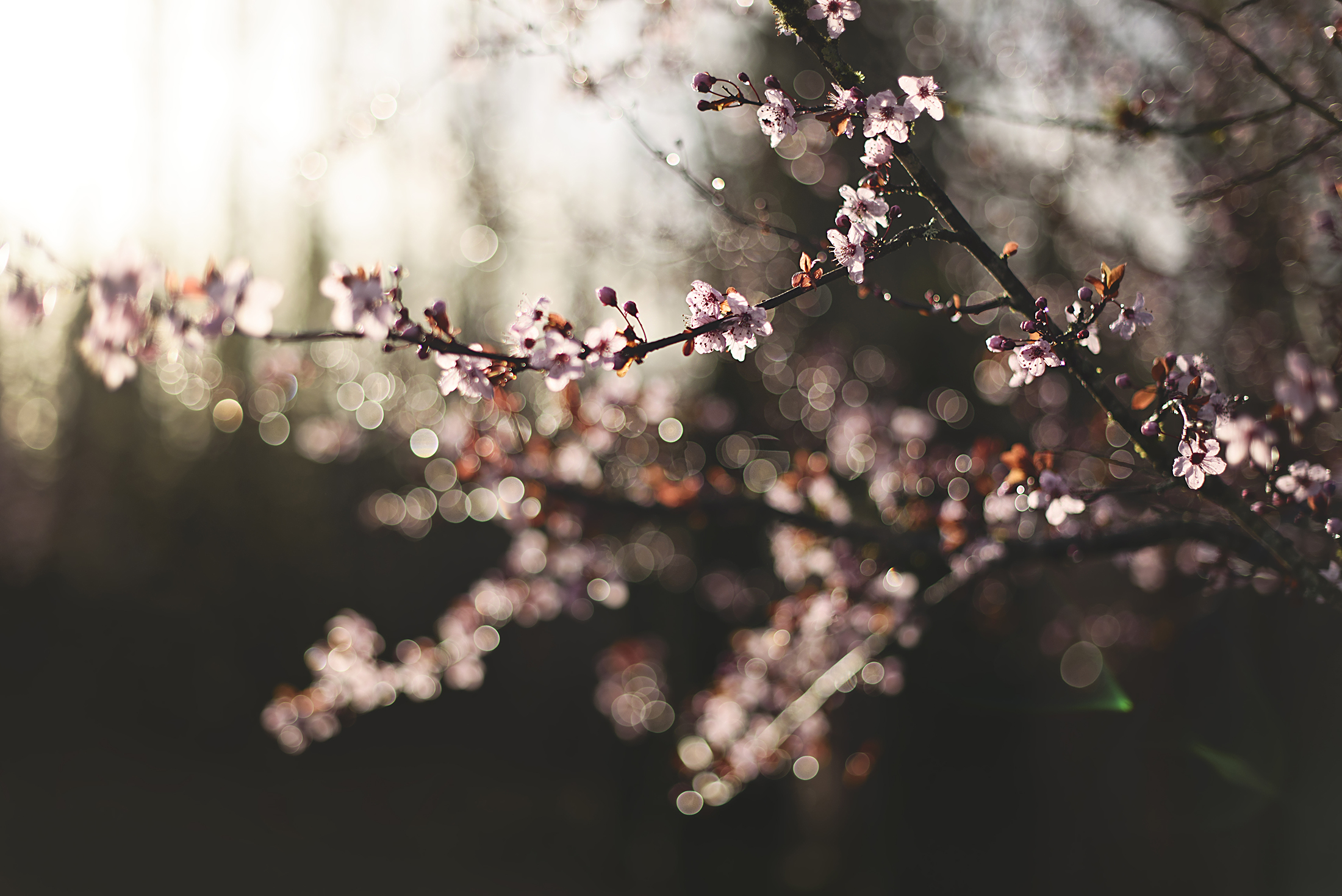 2016-03-03 - Cherry Blossoms 1