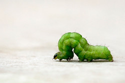 2011-05-11---Inchworm-Inching