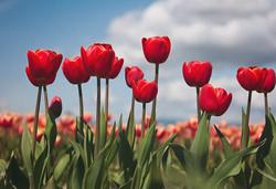 2014--Skagit-Valley-Tulips-21