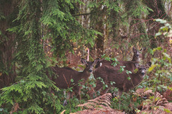 2012-12-09 - Four Deer in backyard 2