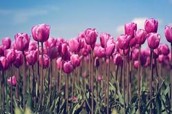 2014---Skagit-Valley-Tulips-38