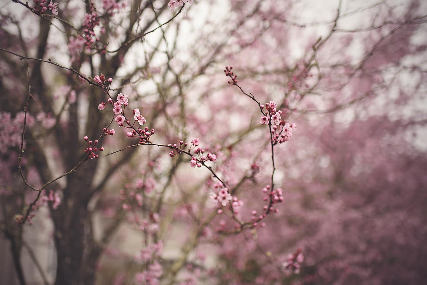 2017-04-05 - Cherry Blossoms 1