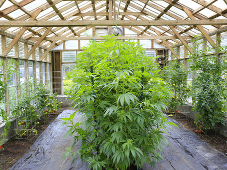 What the Heck is a Licensed Producer of Cannabis?
