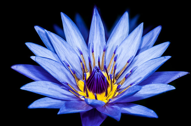 Blue Lotus Flower Starseed Astrology USA Egyptian Alchemy