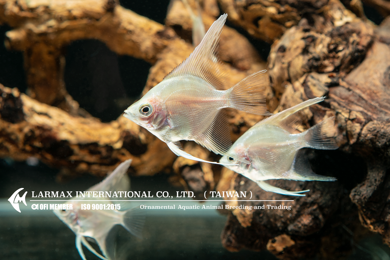 Gold Larmax Angel Fish