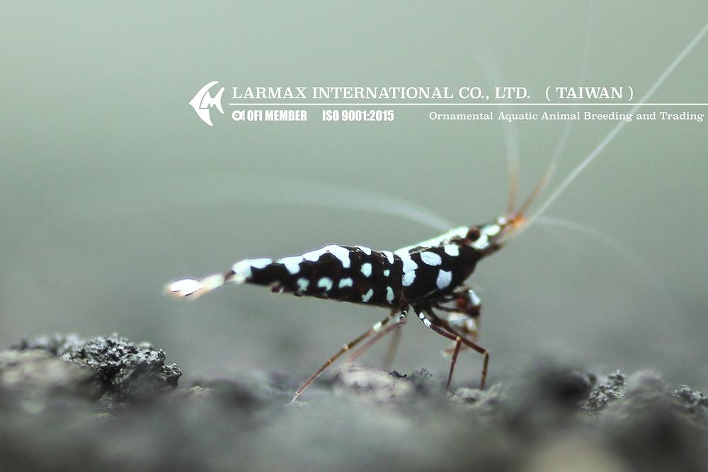 Caridina trimaculatus /乳牛(白斑)蝦