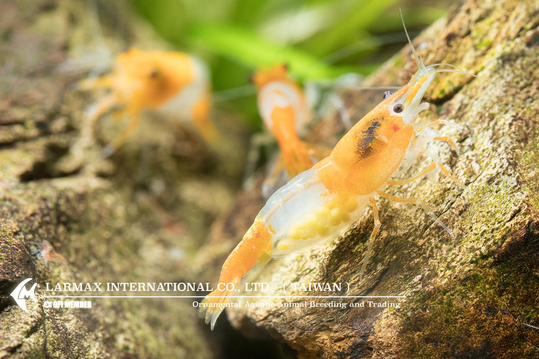 Orange Rili(Female)